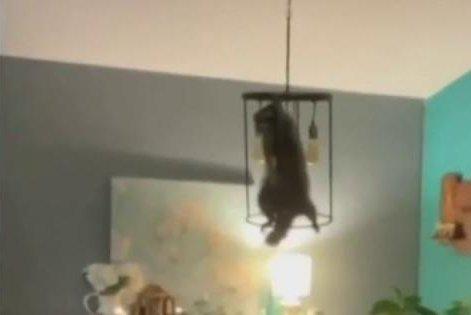 Florida Woman Raccoon In Christmas Tree
