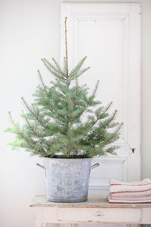Small Live Christmas Tree